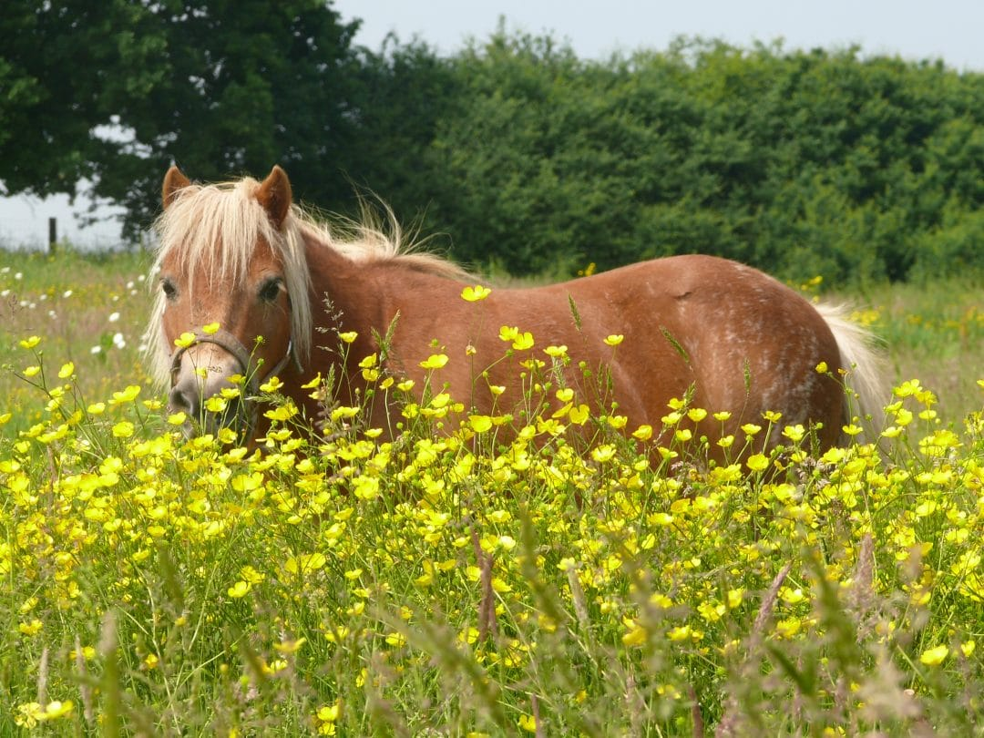 Creme Caramel in the buttercups at Shetland Pony Club