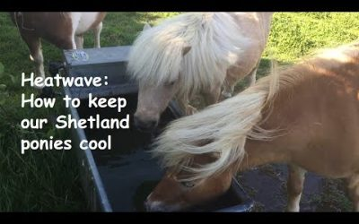Heatwave: how to keep our Shetland ponies cool