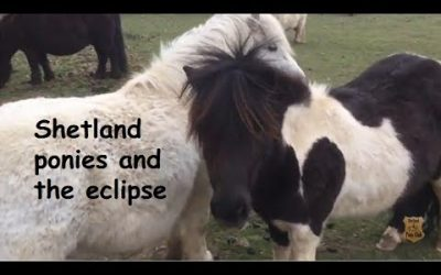 Shetland ponies and the eclipse