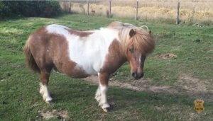 Robin Hood Adopted Shetland Pony - skewbald colour