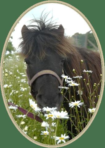 Muffin - at Shetland Pony Club 2