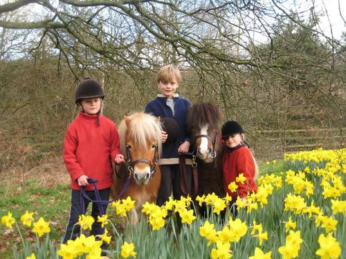 Easter Pony Riding in the daffodils at Shetland Pony Club
