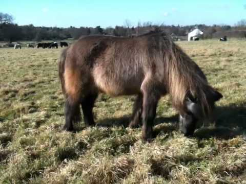 Falkland, Shetland pony - Regimental Mascot of the Parachute Regiment