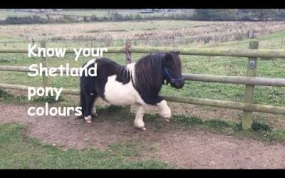 Know your Shetland pony colours