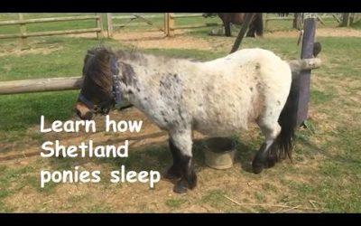 Learn how Shetland ponies sleep