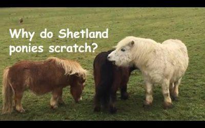 Why do Shetland ponies scratch