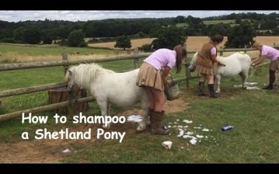 How to shampoo a Shetland Pony