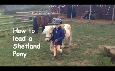 How to lead a Shetland Pony