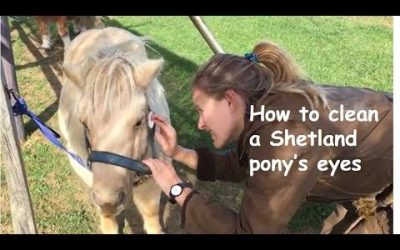 How to clean a Shetland pony's eyes