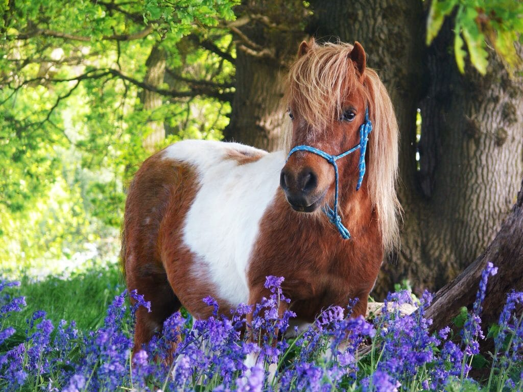 Robin Hood in the Blue Bells in spring at Shetland Pony Club