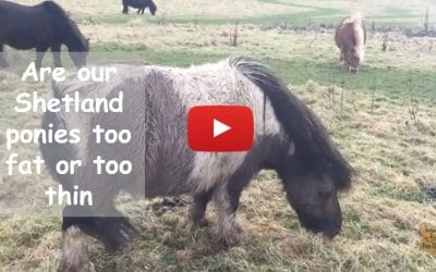 Are our Shetland ponies too fat or too thin?