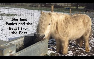 Shetland ponies and the Beast from the East