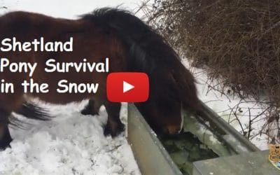 Shetland Pony Survival in the Snow