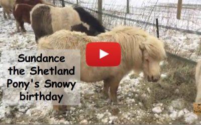 Sundance the Shetland pony's snowy birthday