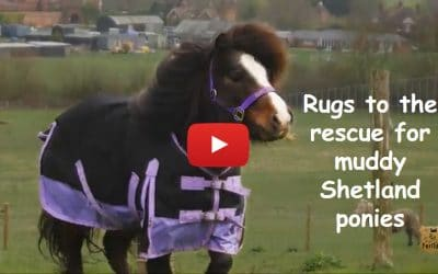 Rugs to the rescue for muddy Shetland ponies