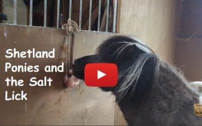 Shetland Ponies and the Salt Lick
