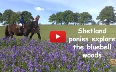 Shetland ponies explore the bluebell woods