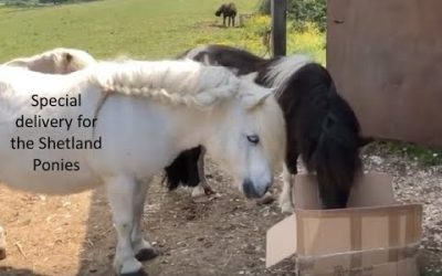 Special delivery for the Shetland Ponies