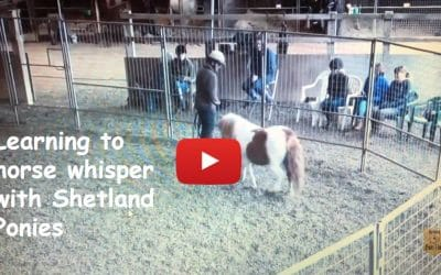 Learning to horse whisper with Shetland Ponies