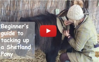 Beginner's guide to tacking up a Shetland Pony
