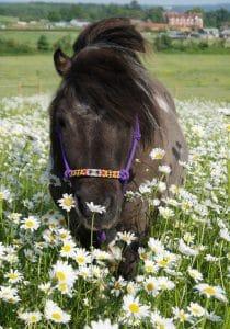 Nottingham the Shetland Pony