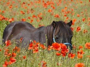 Poppies at Shetland Pony Club