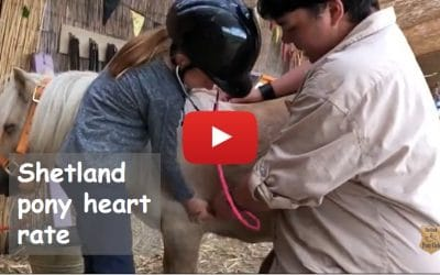 Shetland pony heart rate – what should it be?