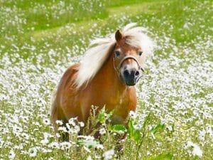 Creme Brulee at Shetland Pony Club 3
