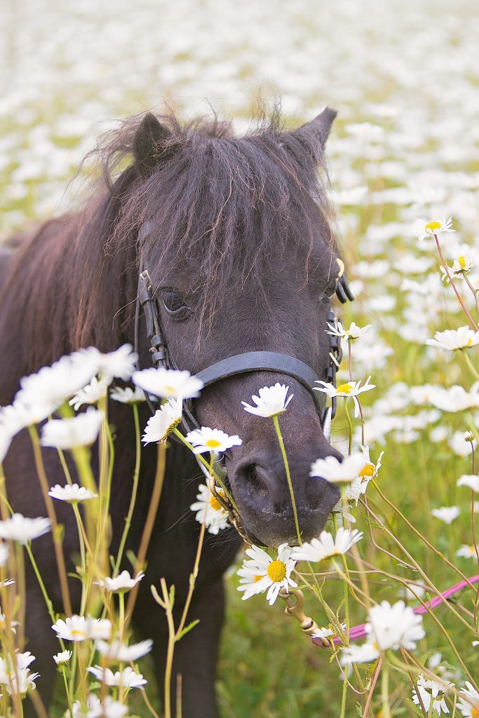 Toby in the moon daisies at Shetland Pony Club