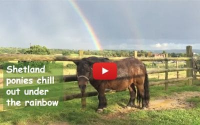 Shetland ponies chill out under the rainbow