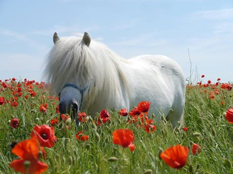 Hector in the poppies at Shetland Pony Club