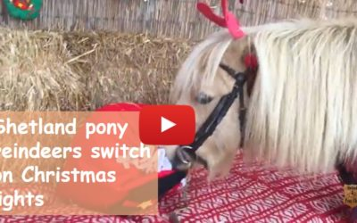 Shetland pony reindeers switch on Christmas lights