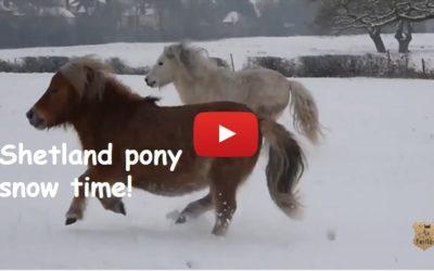 Shetland pony snow time!