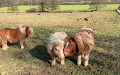 Shetland Pony Playtime: TV Episode 217