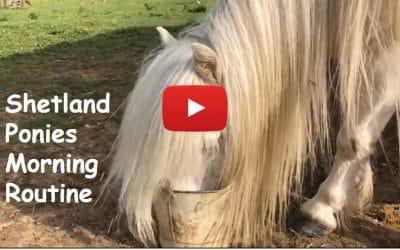 Shetland Ponies Morning Routine