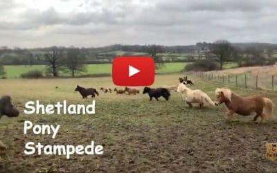 Shetland Pony Stampede
