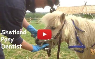 Shetland Pony Dentist