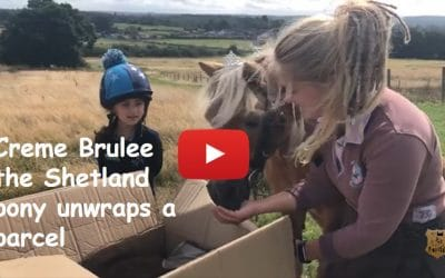Creme Brulee the Shetland pony unwraps a parcel