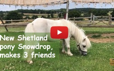 New Shetland pony, Snowdrop, makes 3 friends