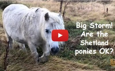 Big Storm! Are the Shetland ponies OK?