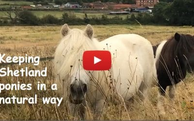 Keeping Shetland ponies in a natural way