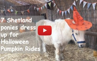 7 Shetland ponies dress up for Halloween Pumpkin Rides