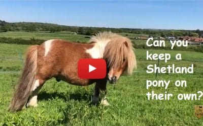Can you keep a Shetland pony on their own?