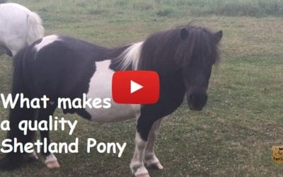 What makes a quality Shetland Pony?