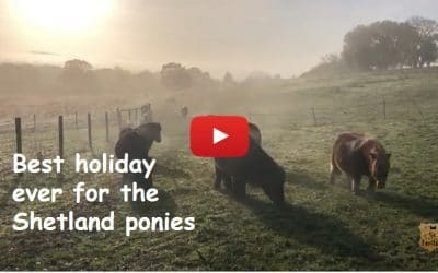 Best holiday ever for the Shetland ponies