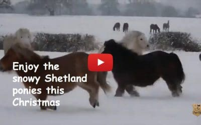 Enjoy the cute snowy Shetland ponies this Christmas