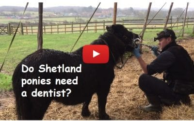 Do Shetland ponies need a dentist?