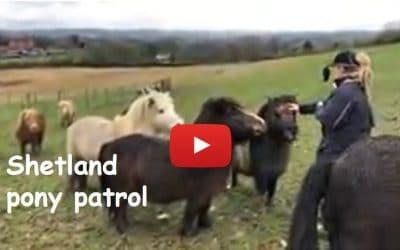 Shetland pony patrol