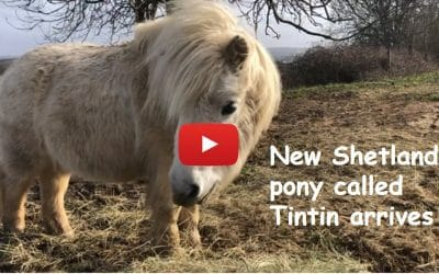 New Shetland pony called Tintin arrives!