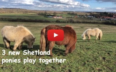 3 new Shetland ponies play together